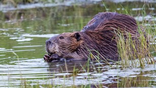 Beaver sliding into the water