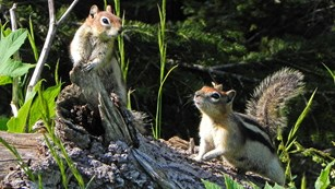 Two golden-mantled ground squirrels on a log.
