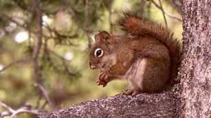 A red squirrel sits in a tree with a cone.