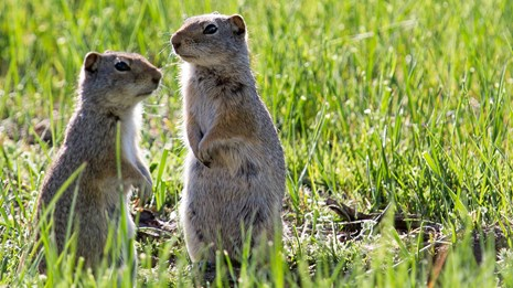 Two Uinta ground squirrels standing at attention is a grassy field.
