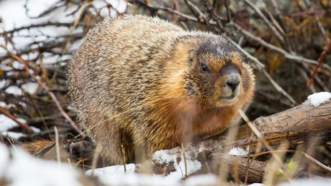 A yellow-bellied marmot seen amongst brush and snow.