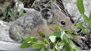 Pika carrying vegetation in its mouth.