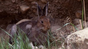 Brown-colored snowshoe hare sitting in a patch of grass and rocks.