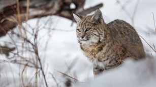 A bobcat walking through a snowy field of brush.