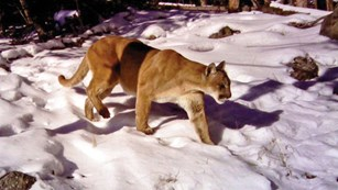 A male cougar stalking across a patch of snow.