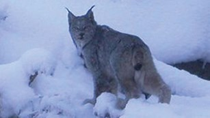 A lynx along a snowy river bank.