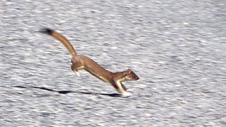 A reddish-brown long-tailed weasel hopping across a road.