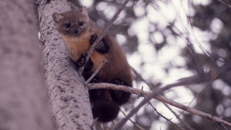 A reddish-brown marten up in a conifer tree.