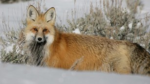 A red fox staring across a snowy field.
