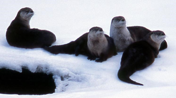 Four river otters resting on a snowy river bank.