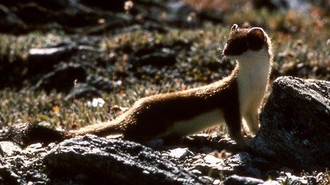 A short-tailed weasel looks back over its shoulder.