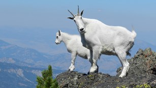Two mountain goats standing upon a rock pinnacle.