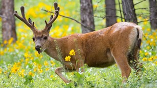 A mule deer buck in the springtime.