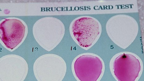 A brucellosis test card with blood smears on the card.