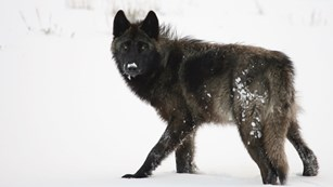 A black and dark gray wolf in snow