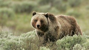 A brown bear with silver-tipped fur and hump standing in sagebrush