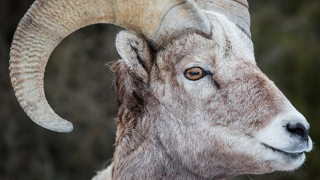 Profile of a bighorn sheep with curled horns