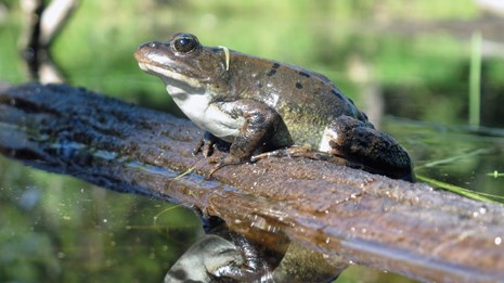 A frog on a small log with white belly and dark green back reflected in water