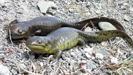 Two dark green glistening salamanders with light green bellies side by side on gravel
