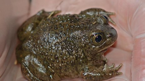 A green and brown bumpy toad in held in the hollow of two gloved hands