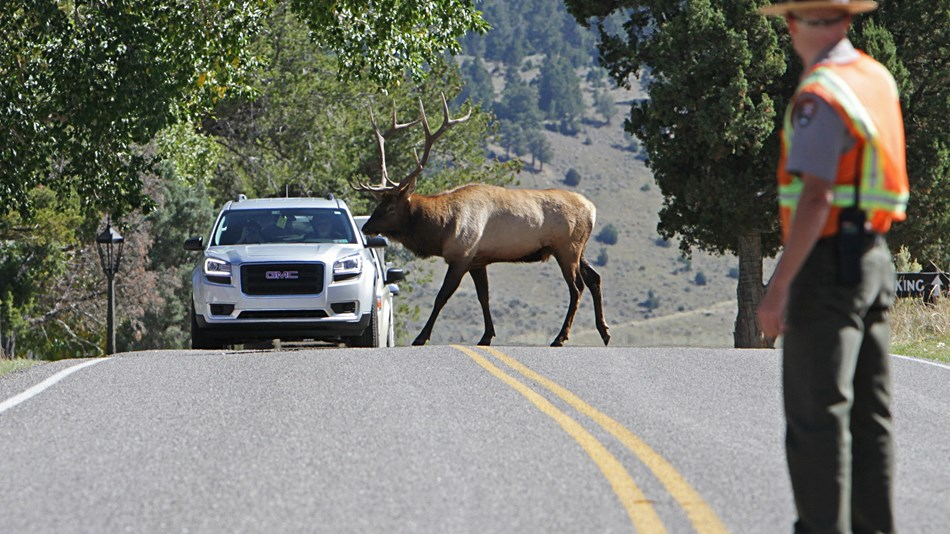 A person in a vest in the foreground while an elk walks in front of a vehicle.