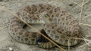 A tan and brown spotted snake with rattler in a coil