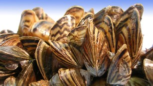 striped mussels in a tight group