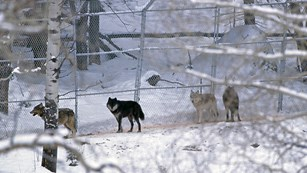 Wolves run along the pen fencing before they are released.