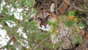 A male cougar stares down from a tree.