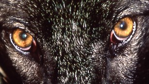 Amber eyes of a black-colored wolf