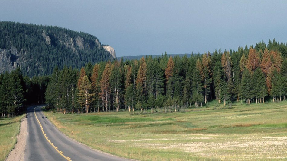 Lodgepole pine forest growing near the road.