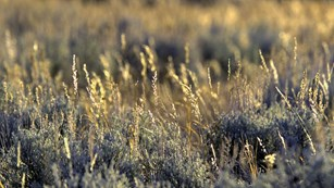 Close-up view of sagebrush in Lamar Valley.