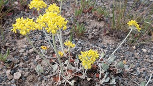 Pale green stems and bright yellow flowers of the Yellowstone Sulphur Flower.