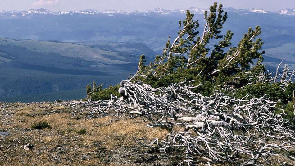 Branches and limbs cluster around a growing conifer on a windswept mountain top.