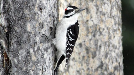 A striped black & white bird with a red patch on the back of it's head perches on a tree trunk.