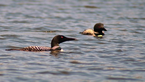 Two birds with black heads, red eyes, and black & white bodies swim in a lake.