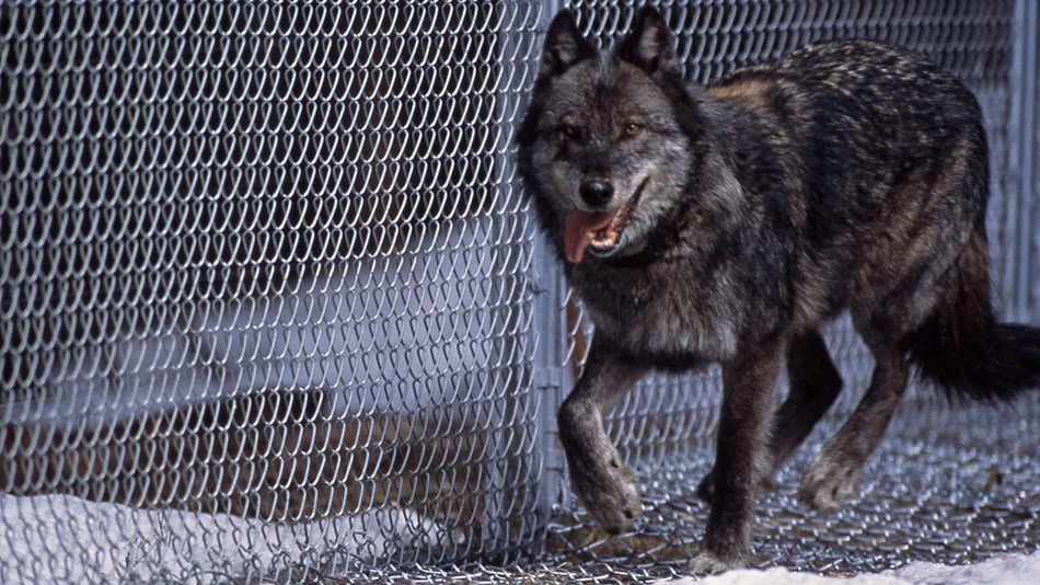 A wolf runs along the chain-link fence of the reintroduction enclosure