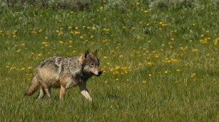A lone wolf walking through a grassy field near a pond.
