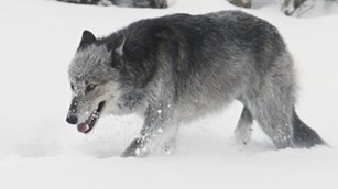 A grey wolf stalks through winter snow