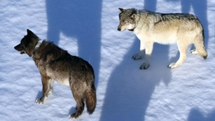 An aerial view of two collared wolves standing on snow