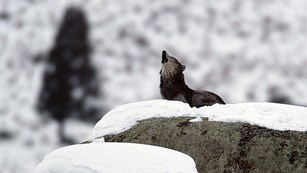 Wolf howling from atop a snowy boulder.