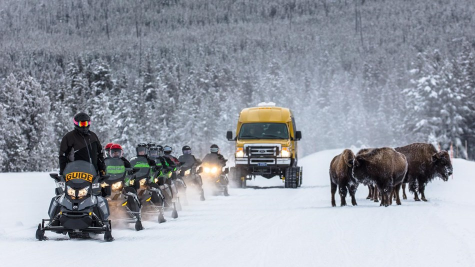 Snowmobiles and a snowcoach line up as they pass a small herd of bison on the road.