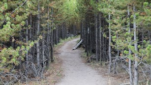 A trail meanders through a conifer forest.