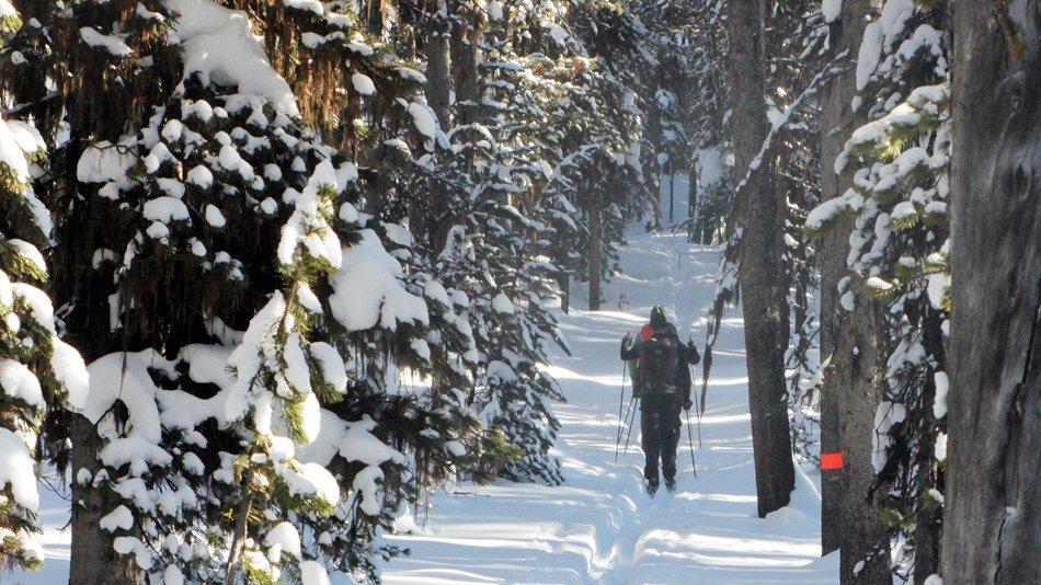 Skiers moving along a trail cut through the pine forest.