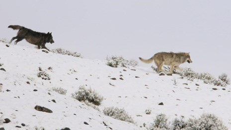 Two wolves running across a snow-covered ridge.