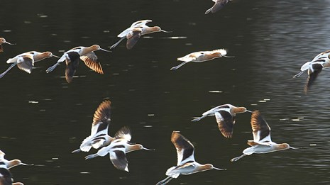 A group of rust-brown-headed birds fly over a body of water.