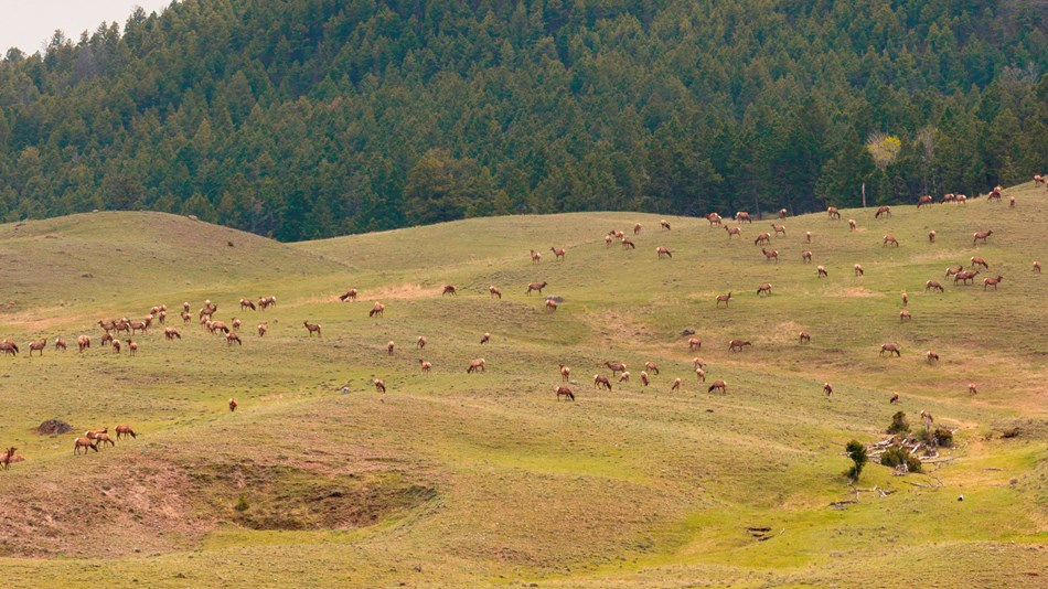 Elk graze across a grassy hillside while a forest grows on the mountain-side beyond.