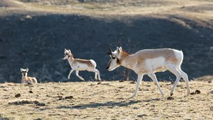 Pronghorn graze across the sagebrush-steppe.