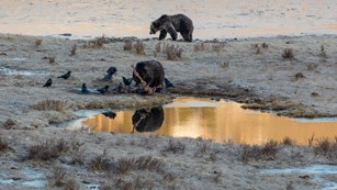 Grizzly bears and ravens feed on a carcass near a couple of ponds.