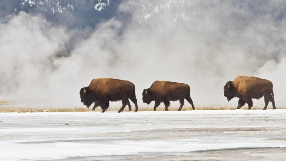 Bison grazing in a patch of grass with hydrothermal steam rising behind them.
